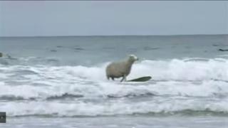 【動画】ひつじ年にちなんで羊さんのサーフィン動画!