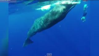 【動画】カリブ海のドミニカ島で!マッコウクジラと遭遇しスピン