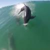 【動画】パドルボードで波に乗っている最中にイルカと危うく接触しそうに!