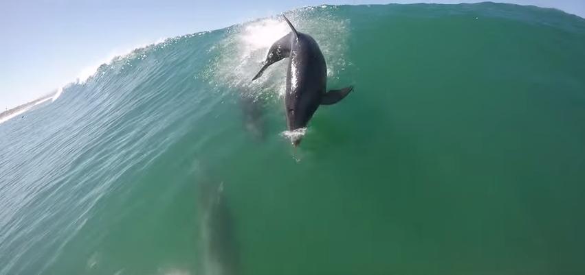 パドルボードで波に乗っている最中にイルカと危うく接触しそうに
