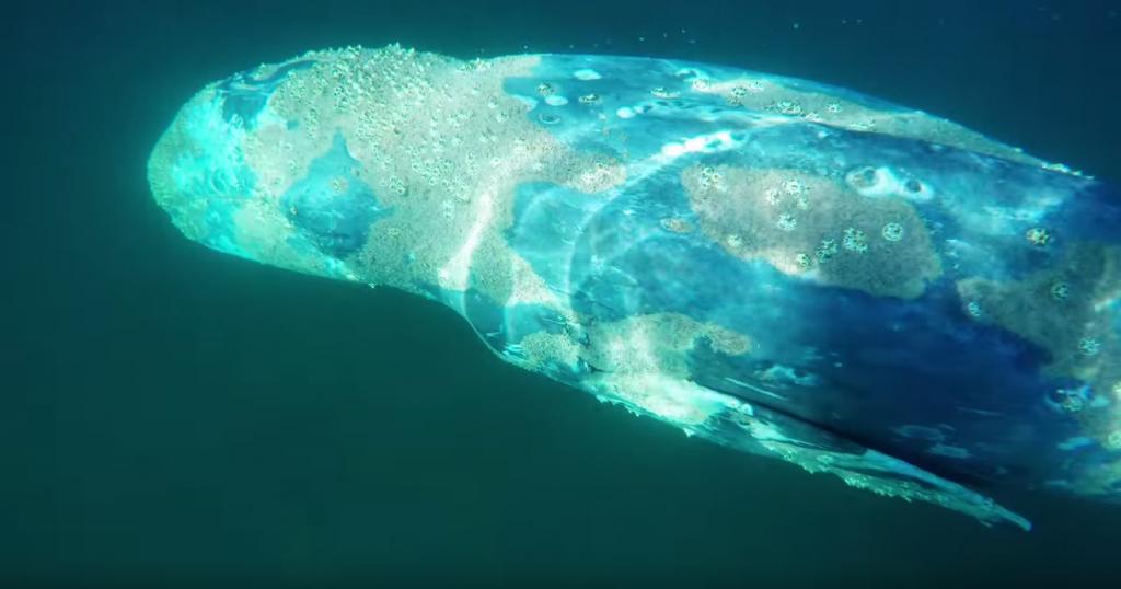 シルバーストランドステートビーチでのコククジラとの遭遇