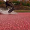 【動画】紅く染まるクランベリー畑でウェイクボードで滑走!