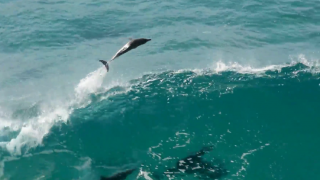 【動画】イルカのサーフィン、ゴールドコーストのバイロンベイ