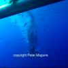 【動画】ホオジロザメのダイビングケージに侵入した海中映像