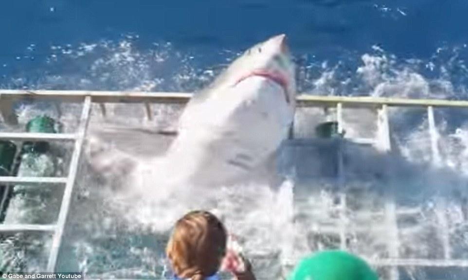 危うく大惨事・ダイバーが入ってるケージ内にホオジロザメが・・・