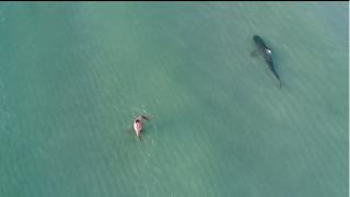 【動画】イタチザメ(tiger shark)がマイアミビーチに出没