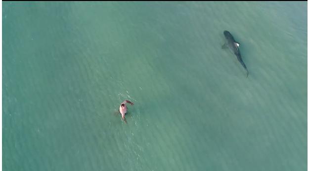 イタチザメ(tiger shark)がマイアミビーチに